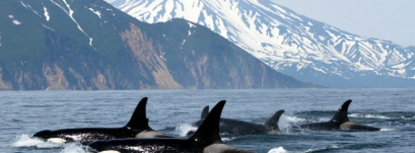 Whale Watching in Victoria BC is One of the Best in the World