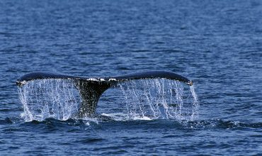 Witness Antics of Whales On Unforgettable Excursions
