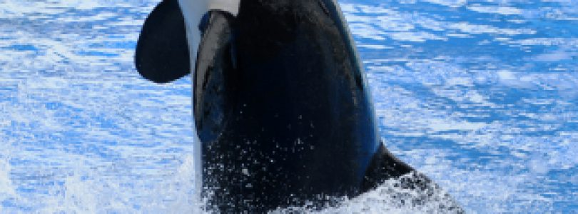 See Killer Whales at Alert Bay on Northern Vancouver Island
