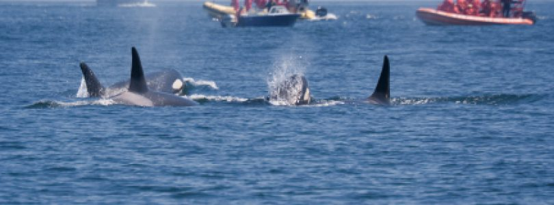 Book A Vancouver Island Whale Watching Tour In A Favorable Month