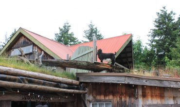 Goats on the Roof at Coombs Market