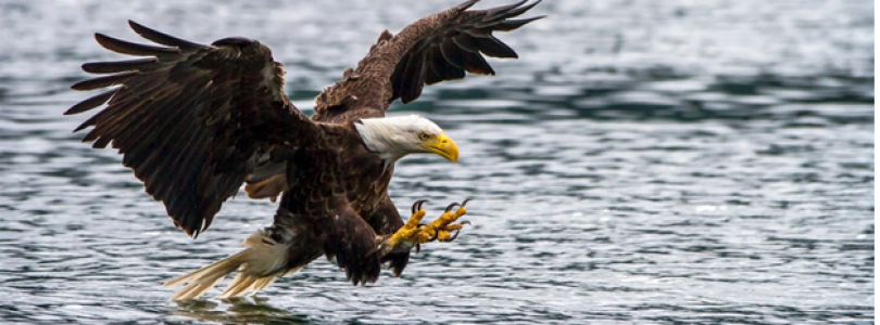 Campbell River Events – 10th Annual Bald Eagle Festival