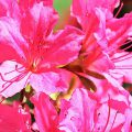 Qualicum events, Rhododendron bloom at Milner Gardens
