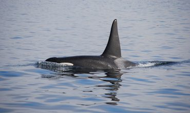 Nanaimo events, world oceans day concept. Orca in water